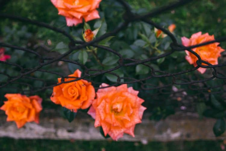 Backyard wow factor wire fence with orange roses