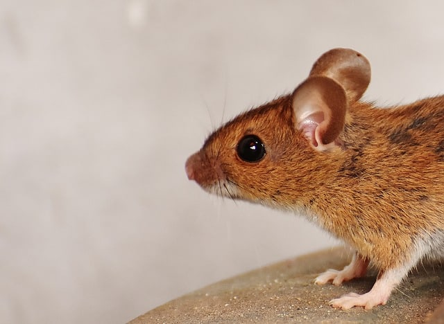 Pests in your home - mouse