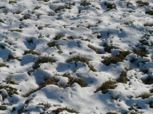 Cleaning up after winter snow on grass