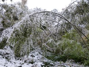 Cleaning up after winter bent tree limbs from heavy snow
