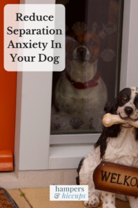 Reduce Separation Anxiety In Your Dog beagle dog sits looking out the window waiting for owner hampersandhiccups