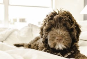 Separation Anxiety In Your Dog chocolate portuguese water dog pupply on blankets