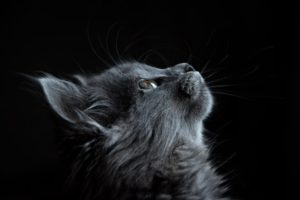 Pets when living in a small space cats are best gray medium hair cat looking upward