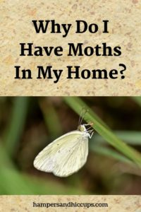 Why do I have moths in my home? moth on blade of grass hampersandhiccups