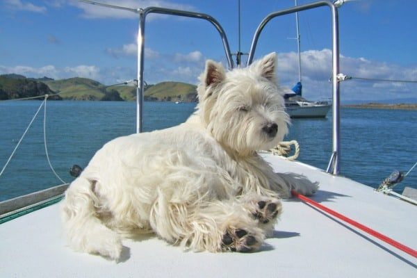 west highland white terrier westie dog on bow of sailboat picture id528963008