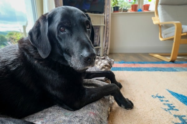 an elderly black labrador in the heart of the family home