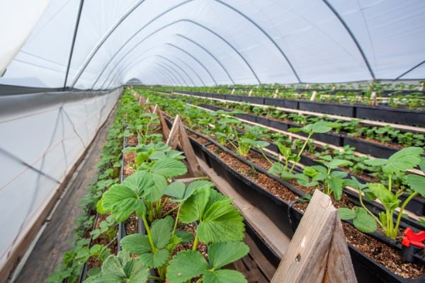 greenhouse with young strawberry bushes
