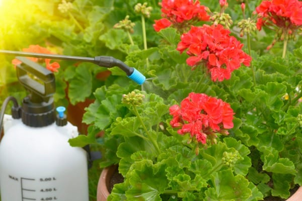 spaying flowers with water or pesticides
