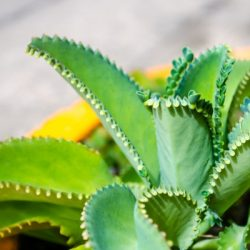 mother of thousands plant care