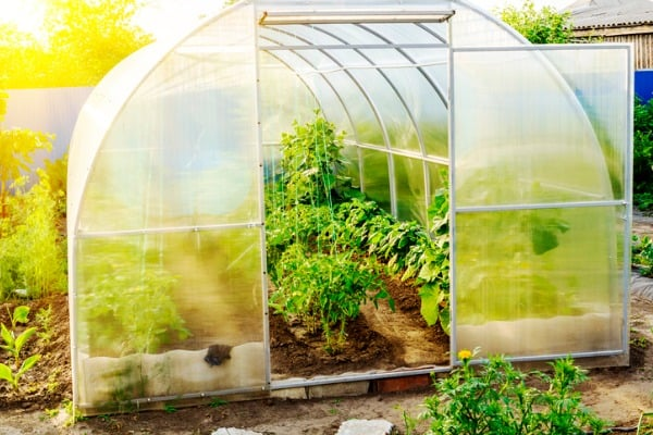 the small greenhouse in a garden with the grownup tomatoes cucumbers